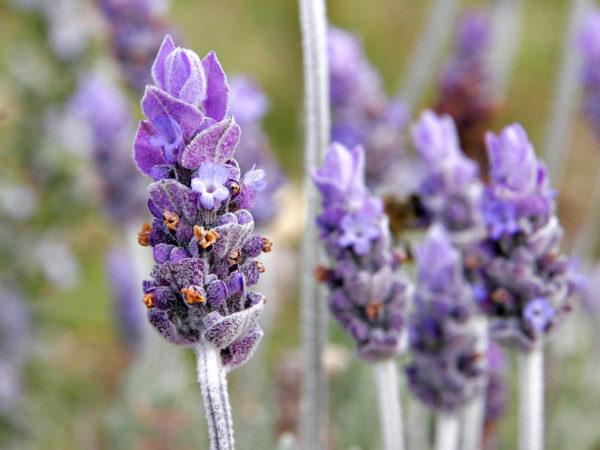aroma_Single_lavendar_flower02